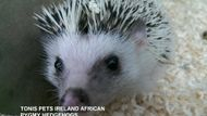 Tonis Pets Ireland African Pygmy Hedgehogs